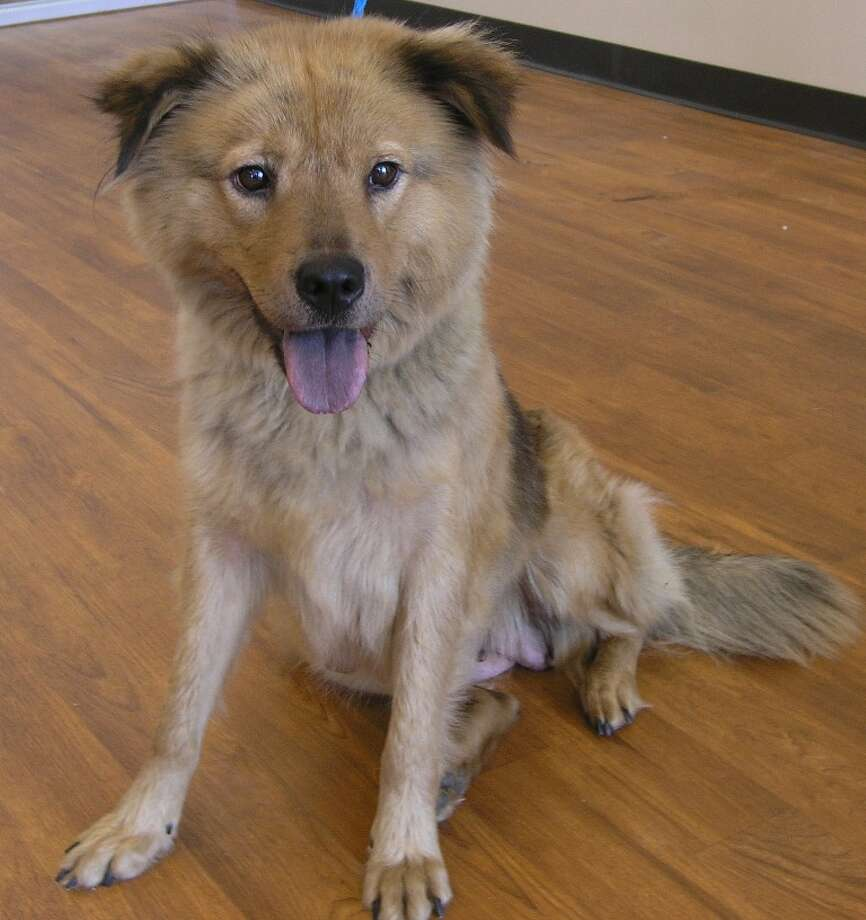 Maggie, a 1-year-old Chow mix Photo: Citizens For Animal Protection