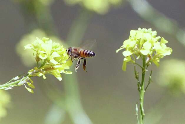Whether due to colony collapse disorder, the drought or both, bees, such as this April visitor, are rare on the Mims place this spring.  Photo: Forrest M. Mims III, For The Express-News / ALL RIGHTS RESERVED.