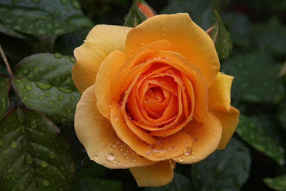 Learn how to prune roses at Bay Area workshops. Photo: Liz Hafalia, The Chronicle