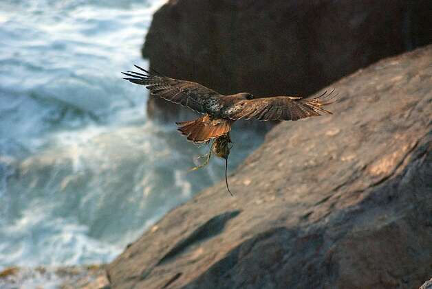 A red-tailed hawk and its prey Photo: Walter Kitundu
