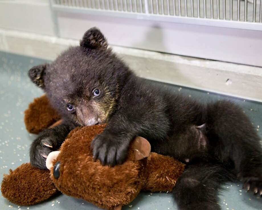 In this undated photo provided by the Oregon Zoo, a quarantined black bear cub plays with his stuffed otter toy at The Oregon Zoo in Portland. (AP Photo/Oregon Zoo, Carli Davidson) Photo: Carli Davidson, Associated Press