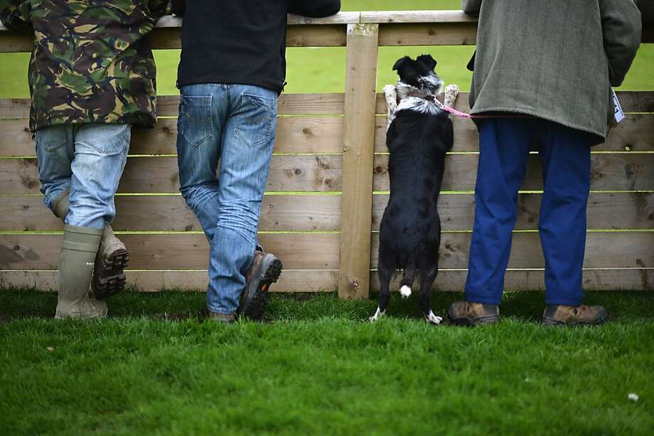 Going, going, dog gone:A soon-to-be-sold border collie watches as another sheepdog is auctioned off in Skipton, England. Buyers will pay thousands of pounds for the country's best bred border collies. Photo: Christopher Furlong, Getty Images