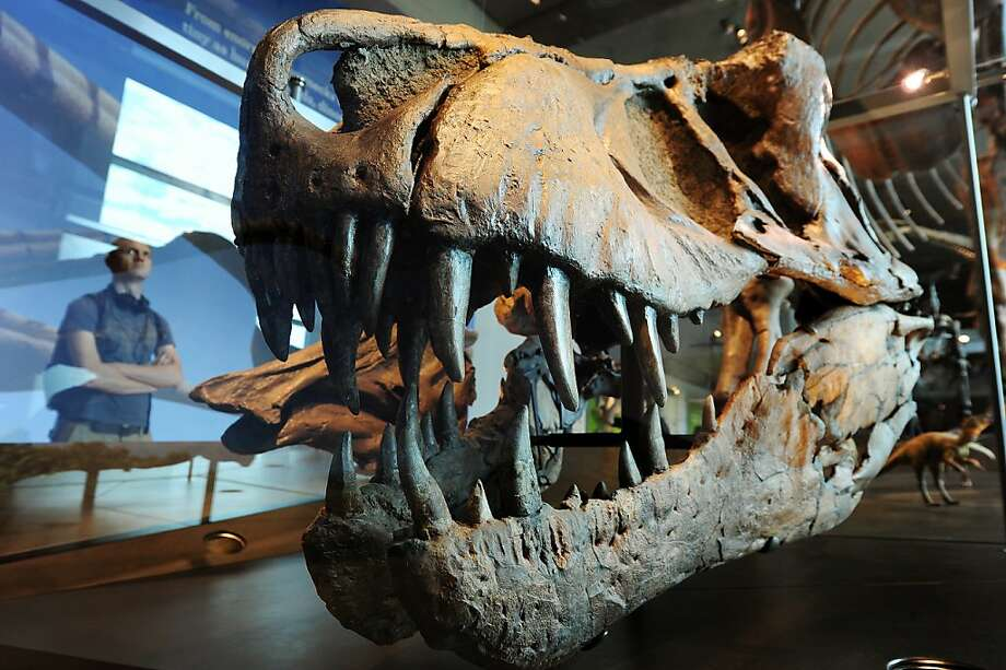 (FILES)A visitor looks at a the skull of a Tyrannosaurus rex at the all-new 14,000 square foot Dinosaur Hall permanent exhibition at the Natural History Museum of Los Angeles  in this July 7, 2011 photo during a press preview.  Giant dinosaurs that roamed the Earth millions of years ago may have warmed the planet with the gas they produced from eating leafy plants, British scientists said on May 7, 2012. Much like modern cows that emit a significant amount of methane in their digestive process, the 20,000 kilogram (44,000 pound) sauropods contributed the same way, and likely more, to the warming climate, said the study in the US journal Current Biology. AFP PHOTO / Robyn BECKROBYN BECK/AFP/GettyImages Photo: Robyn Beck, AFP/Getty Images