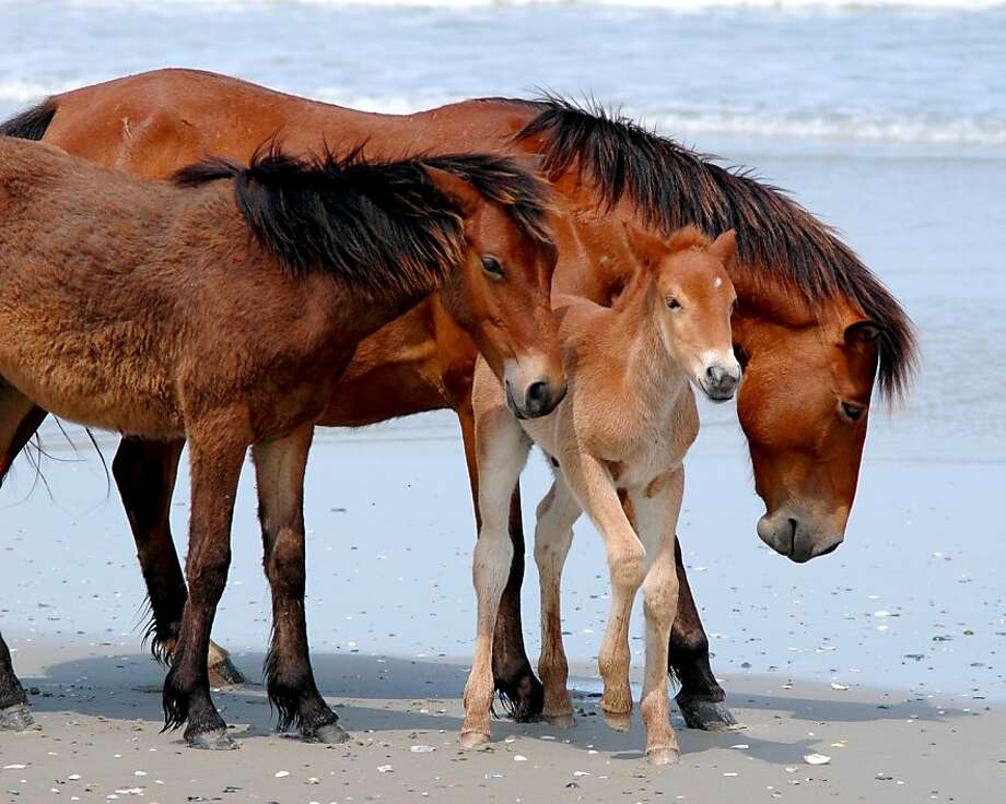 In an undated handout photo, wild horses from the Corolla herd on the Outer Banks peninsula in North Carolina. The horses have become the subject of a debate between supporters of the herd, which needs more mares to prevent a genetic collapse from inbreeding, and wildlife conservationists, who believe the size of the herd is already straining the local ecosystem. (Corolla Wild Horse Fund/The New York Times) -- NO SALES; FOR EDITORIAL USE ONLY WITH STORY SLUGGED SCI HORSES PRESERVATION BY LAURA BEIL. ALL OTHER USE PROHIBITED. -- Photo: Corolla Wild Horse Fund, New York Times