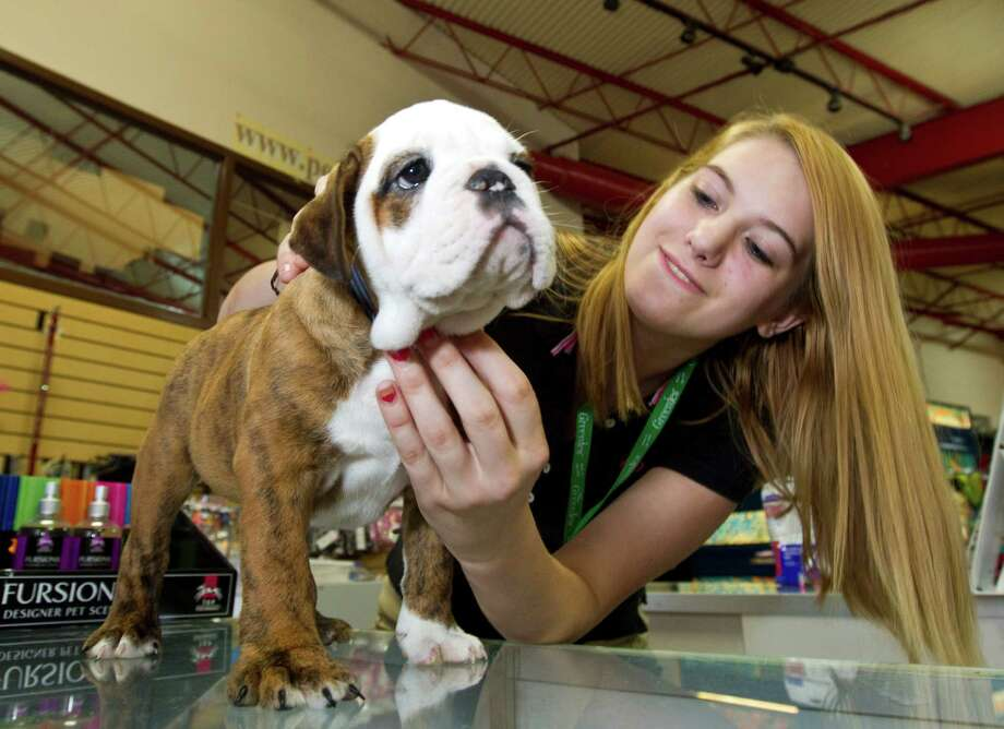"Pet store manager Samantha Stack holds the English bulldog puppy that was stolen from the store Monday. She said she is ""super exited that he was found."" Photo: Nick De La Torre / © 2012  Houston Chronicle"