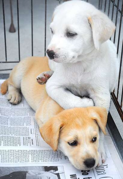 Sammy rests on top of his brother, Bobby, inside their cage at the SPCA adoption drive outside of Pe
