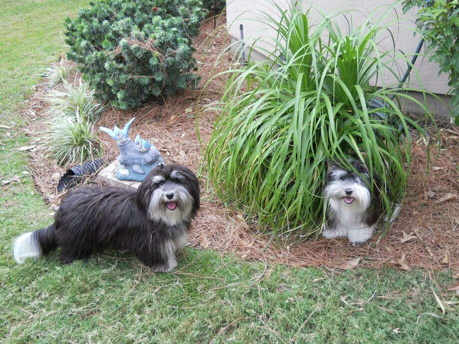 Belle and Starr, Havanese pups that live with Anita and Boyd Martin of Houston. for pets page. Photo: Anita And Boyd Martin