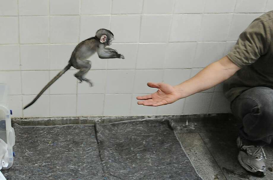 Rio's zoo veterinarian Alex Spadetti plays with 'Lequinho', a two-month-old 'green monkey' (Cercopithecus pygerythrus), a species originary from South Africa, in Rio de Janeiro, Brazil, on May 22. 2012. Lequinho, whose mother died upon giving birth, is being taken care of by a team of veterinarians and biologists      TOPSHOTS/AFP PHOTO/VANDERLEI ALMEIDAVANDERLEI ALMEIDA/AFP/GettyImages Photo: Vanderlei Almeida, AFP/Getty Images