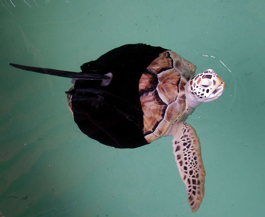 Allison, a rescued green sea turtle who has only one flipper, swims with the aid of a fin attached with neoprene at the Sea Turtle, Inc. , in South Padre Island, Texas, Wednesday, April 8, 2009. Without the fin, developed at the turtle rescue facility, Allison can only swim in circles. The group had previously experimented with prosthetic flippers without luck. (AP Photo/Eric Gay) Photo: Eric Gay / AP
