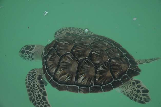 Visitors to South Padre Island should stop by Sea Turtle, Inc. Photo: Amber Ambrose