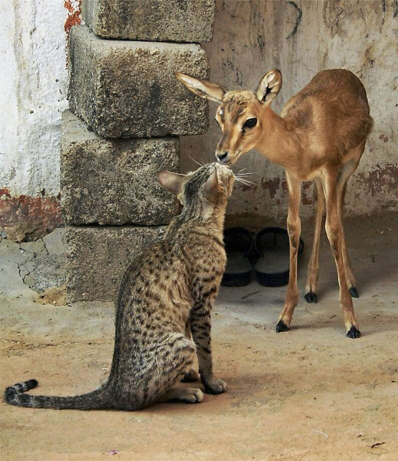 In this Wednesday, May 23, 2012 photograph, a young deer and a cat share a moment in Feench village near Jodhpur, Rajasthan state, India. (AP Photo) INDIA OUT Photo: Associated Press