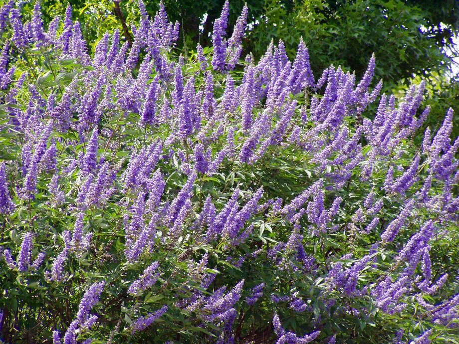 Vitex looks similar to lilacs, which can't grow in South Texas.