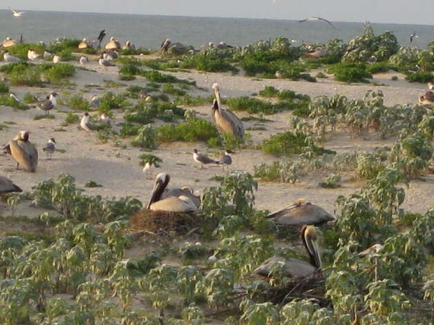 Nesting Brown Pelicans and Royal Terns on Sundown Island near Port O'Connor. (Photo By Iliana Peña) Photo: Courtesy