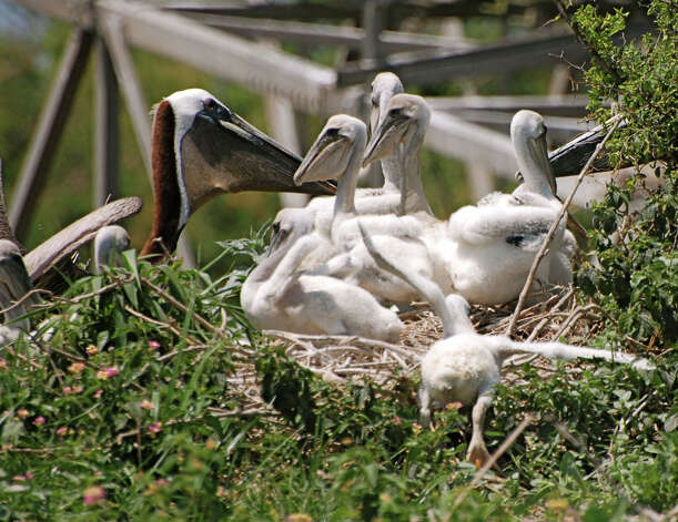 Baby Brown Pelicans (3-4 weeks old) and adults on an island near Port O'Connor. (Photo by Peggy Wilkinson) Photo: Courtesy