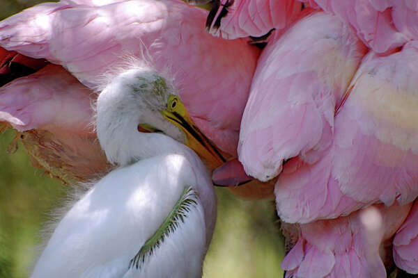 A young Great Egret stands near several Roseate Spoonbills on an island near Port O'Connor. (Photo by Peggy Wilkinson)