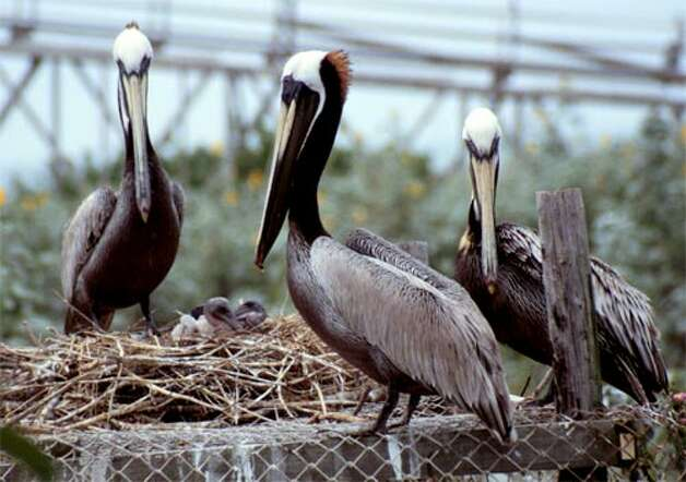 Pelican family on an island near Port O'Connor. Photo: Courtesy