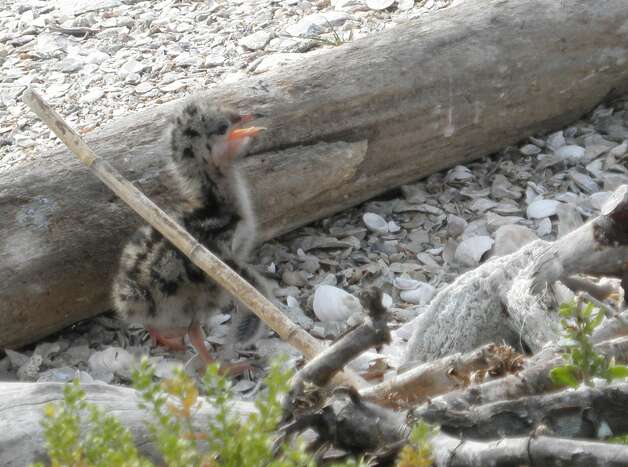 Forster's Tern chick (1-2week old) at Galveston Bay. (Photo by Amanda Hackney) Photo: Courtesy