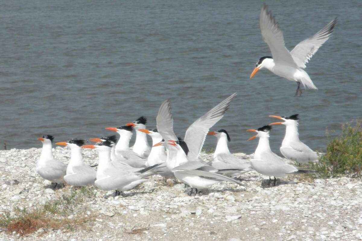 Royal Terns and their eggs on an island in Galveston Bay. Can you spot the eggs? (Photo by Amanda Hackney)