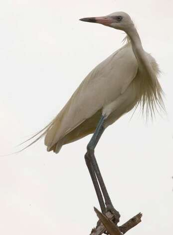Reddish Egret (white morph) at Green Island in the Lower Laguna Madre. Photo: Courtesy