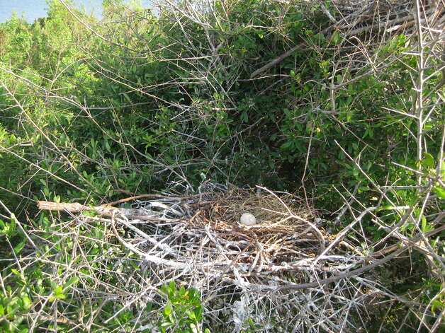 Heron nest at Sundown Island near Port O'Connor. (Photo by Iliana Peña) Photo: Courtesy