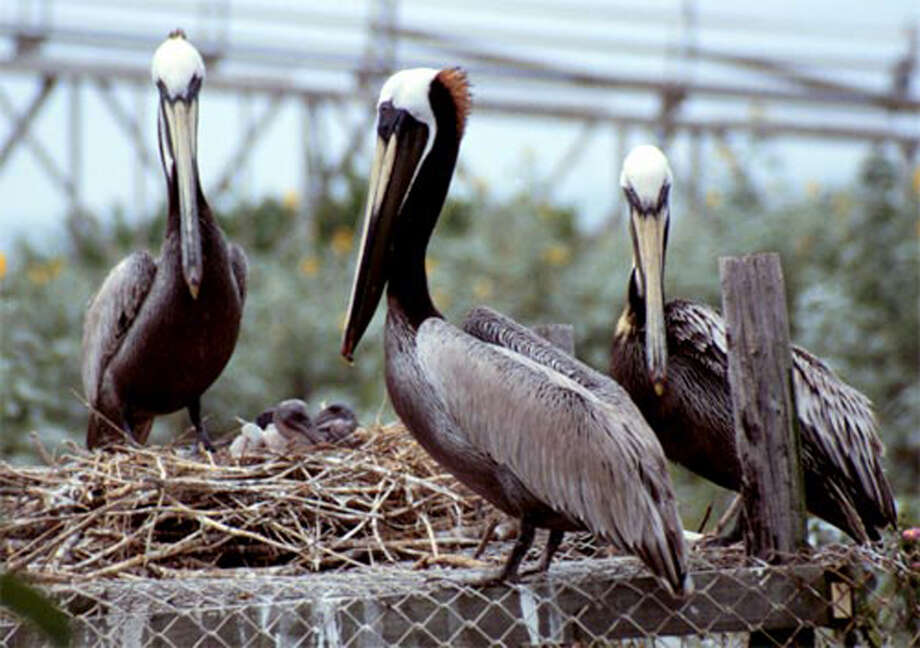 Audubon Texas asks beachgoers to stay away from bird colonies like these pelicans near Port O'Connor. Photo: Audubon Texas