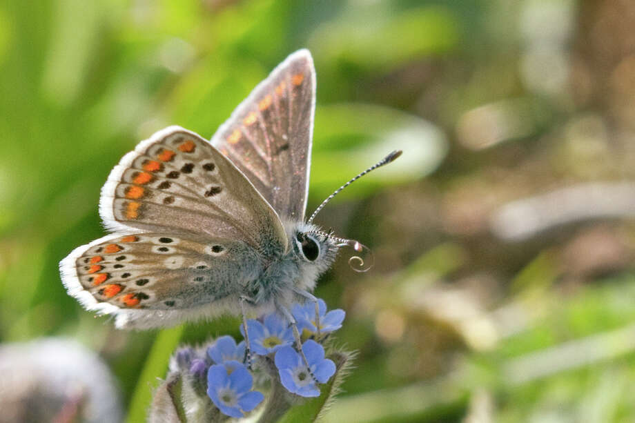 The brown Argus butterfly is finding food in northern Britain, thanks to a warming climate. Photo: Keith Warmington / Butterfly Conservation