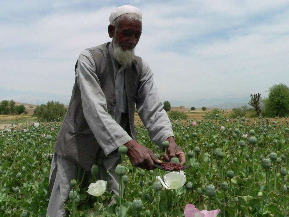 An Afghan farmer collects opium sap in May from a poppy plant in n Nangarhar province. Poppy crop cultivation reached 131,000 hectares in 2011, about 7 percent higher than in 2010. A blight this year is likely to boost future production. Photo: NOORULLAH SHIRZADA / AFP
