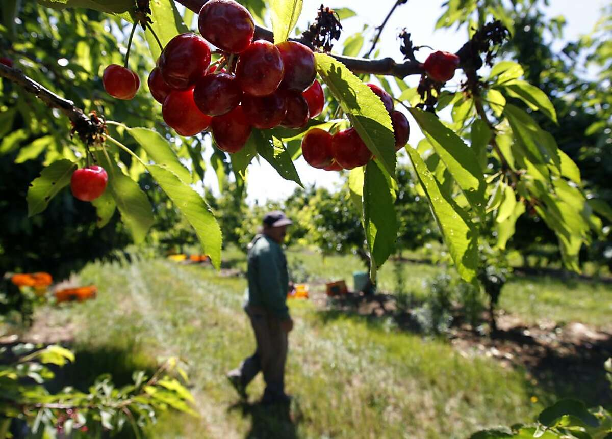 Ripe cherries wait to be harvested in an orchard at Morada Produce in Linden, Calif. on Wednesday, May 23, 2012. Crackdowns in immigration is one of the factors resulting in a decline in the number of seasonal farm workers available to harvest crops.