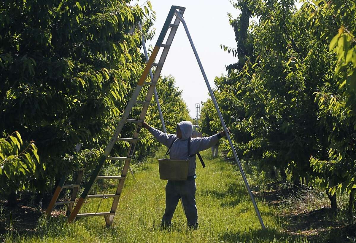 A farm worker positions a ladder for harvesting cherries at Morada Produce in Linden, Calif. on Wednesday, May 23, 2012. Crackdowns in immigration is one of the factors resulting in a decline in the number of seasonal workers available to harvest crops.