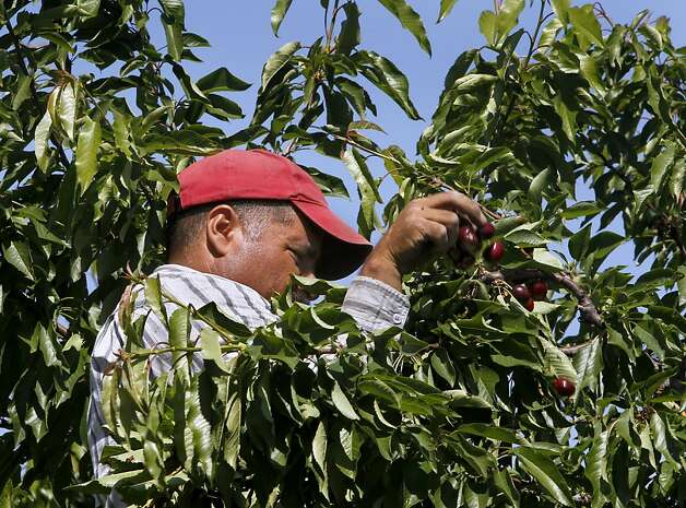 Nazerio Perez picks cherries at Morada Produce in Linden, Calif. on Wednesday, May 23, 2012. Crackdowns in immigration is one of the factors resulting in a decline in the number of seasonal farm workers available to harvest crops. Photo: Paul Chinn, The Chronicle