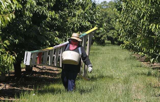 A farm worker carries a ladder through a cherry orchard at Morada Produce in Linden, Calif. on Wednesday, May 23, 2012. Crackdowns in immigration is one of the factors resulting in a decline in the number of seasonal workers available to harvest crops. Photo: Paul Chinn, The Chronicle