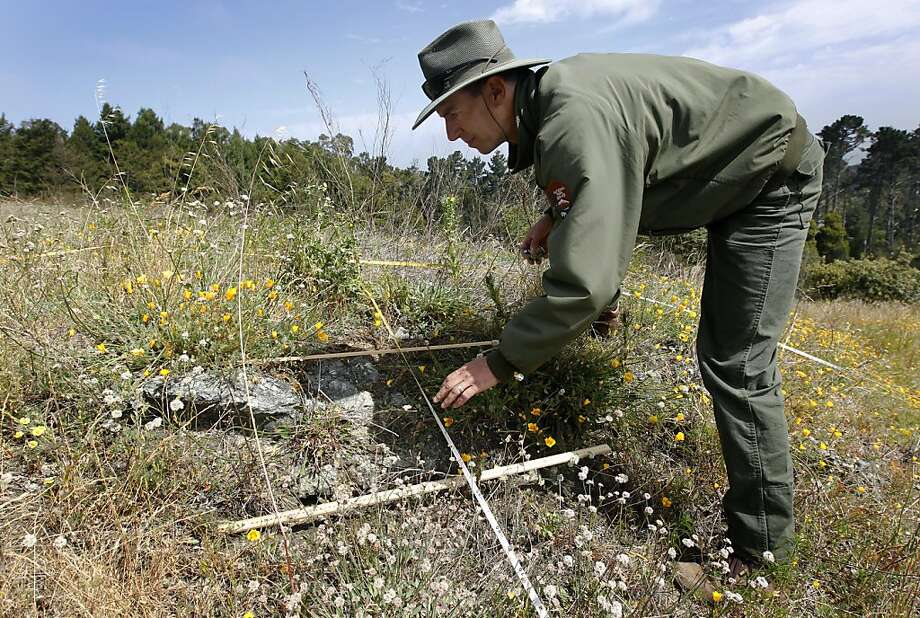 National Park Service biologist Michael Chasse counts the number of rare Presidio clarkia plants growing near Inspiration Point in the Presidio of San Francisco, Calif. on Thursday, May 17, 2012. Biologists are reintroducing and monitoring a variety of endangered species to the Presidio. Photo: Paul Chinn, The Chronicle