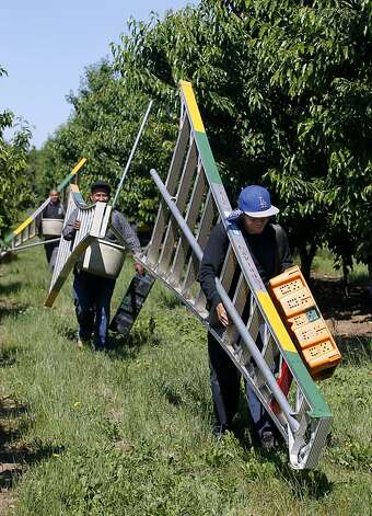 Farm workers carry their ladders through a cherry orchard at Morada Produce in Linden, Calif. on Wednesday, May 23, 2012. Crackdowns in immigration is one of the factors resulting in a decline in the number of seasonal workers available to harvest crops. Photo: Paul Chinn, The Chronicle