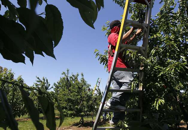 Armando Soto scales a ladder to harvest cherries at Morada Produce in Linden, Calif. on Wednesday, May 23, 2012. Crackdowns in immigration is one of the factors resulting in a decline in the number of seasonal farm workers available to harvest crops. Photo: Paul Chinn, The Chronicle