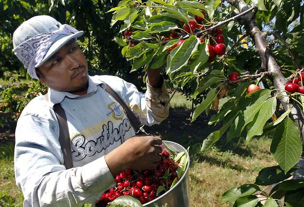 Carlo Soto harvests cherries at Morada Produce in Linden, Calif. on Wednesday, May 23, 2012. Crackdowns in immigration is one of the factors resulting in a decline in the number of seasonal farm workers available to harvest crops. Photo: Paul Chinn, The Chronicle