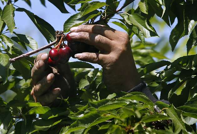 A farm worker harvests cherries by hand at Morada Produce in Linden, Calif. on Wednesday, May 23, 2012. Crackdowns in immigration is one of the factors resulting in a decline in the number of seasonal workers available to harvest crops. Photo: Paul Chinn, The Chronicle
