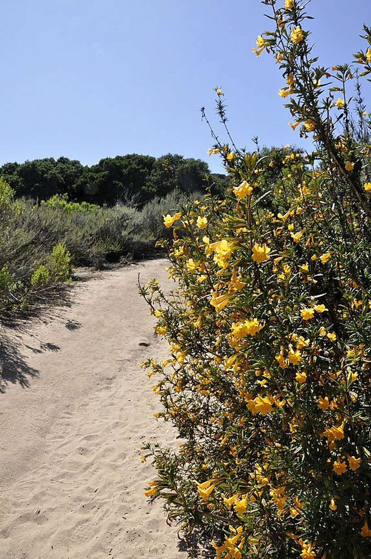 Native sticky monkey bushes brighten Trail 30 from the Creekside Trail access, which is the easiest access if you're driving west to east. Writer: