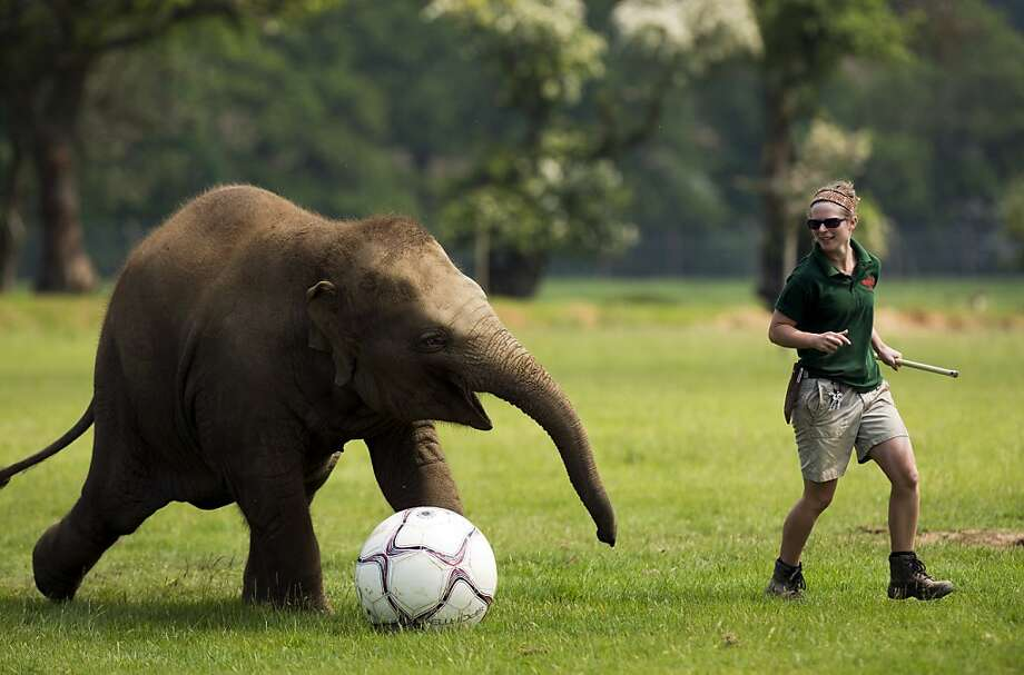 Elephant keeper Elizabeth Fellows plays football with Donna, a two-year-old elephant at Whipsnade Zoo near Dunstable, central England on May 28, 2012.  The elephants were playing with the ball as the zoo prepares to host a sporting extravaganza. AFP PHOTO / ADRIAN DENNISADRIAN DENNIS/AFP/GettyImages Photo: Adrian Dennis, AFP/Getty Images