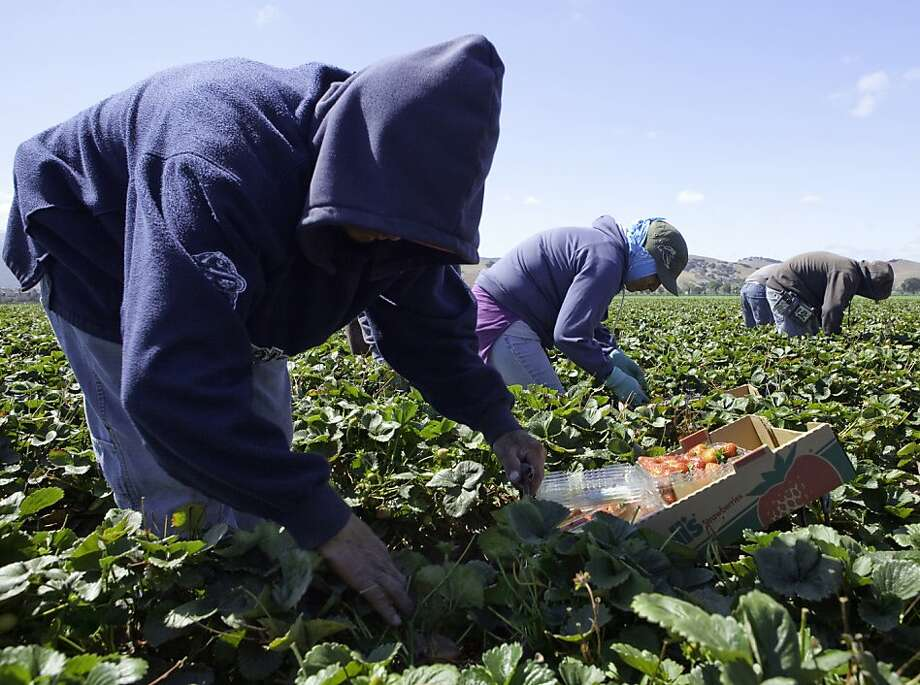 Farmworkers pick strawberries for Driscoll's just south of town in Salinas on Sept. 9. Photo: Tomas Ovalle, SFC