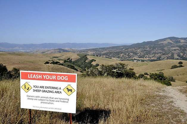 Sheep graze on the grassy hills in the Laguna Seca Trail area, so dogs will have to be tethered here. Photo: Christine Delsol, Special To SFGate