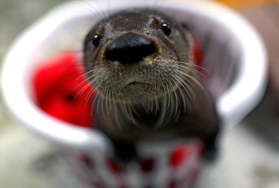 A baby otter that has been added to the Virginia Aquarium is shown in Virginia Beach, Va., on Tuesday, May 29, 2012. The Virginia Beach facility says it is conducting an online contest to name the new addition. The male otter was adopted after it was found alone near St. George, S.C., apparently abandoned by his mother. (AP Photo/Virginian-Pilot, Ross Taylor)  MAGS OUT Photo: Ross Taylor, Associated Press