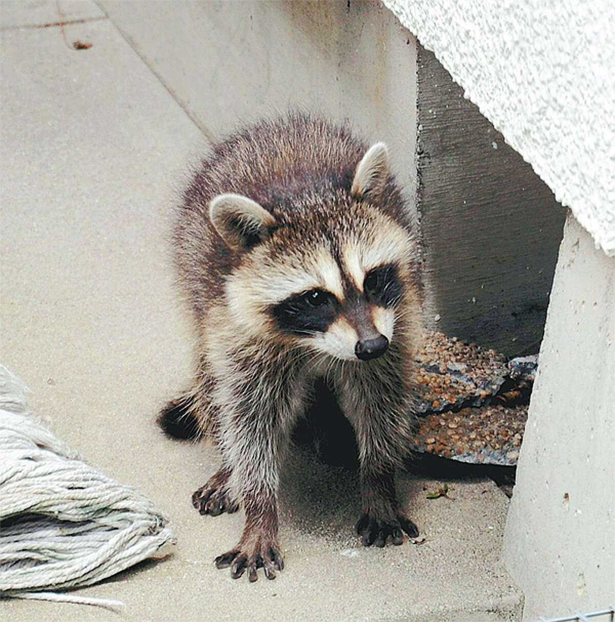 This is one of three raccoons captured Tuesday in Japan, where they are considered an invasive species.