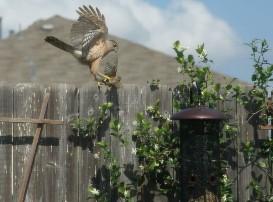 Mike Kimberly took this photo of a hawk attack in Channelview.