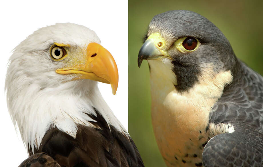 Without the 1972 ban on DDT and ensuing protections, the bald eagle (left) and peregrine falcon (right), let alone dozens of other bird species, would likely be gone now in the continental U.S. Courtesy of iStockPhoto Photo: Contributed Photo