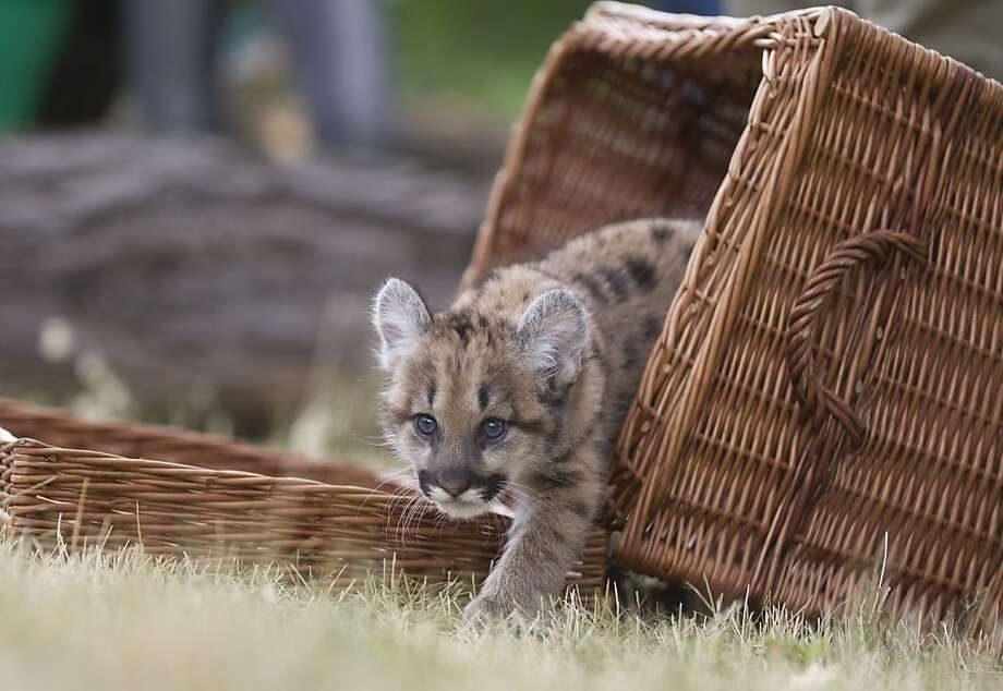 Seven weeks old female puma cub Missoula steps out of a basket during a presentation at the Tierpark zoo in Berlin, Germany, Wednesday, May 30, 2012.  Missoula was born weighing 570 grams (1.26 pounds) and weighs now 3 kilograms (6.61 pounds). She is the first puma to grow-up in the Tierpark zoo in nearly 22 years. (AP Photo/Gero Breloer) Photo: Gero Breloer, Associated Press