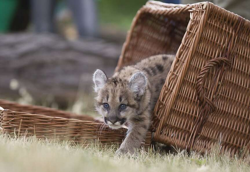 Seven weeks old female puma cub Missoula steps out of a basket during a presentation at the Tierpark