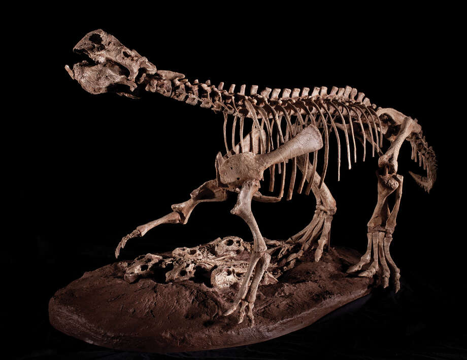 A saber-toothed cat skeleton is on display at the Houston Museum of Natural Science. Photo: Courtesy Of HMNS