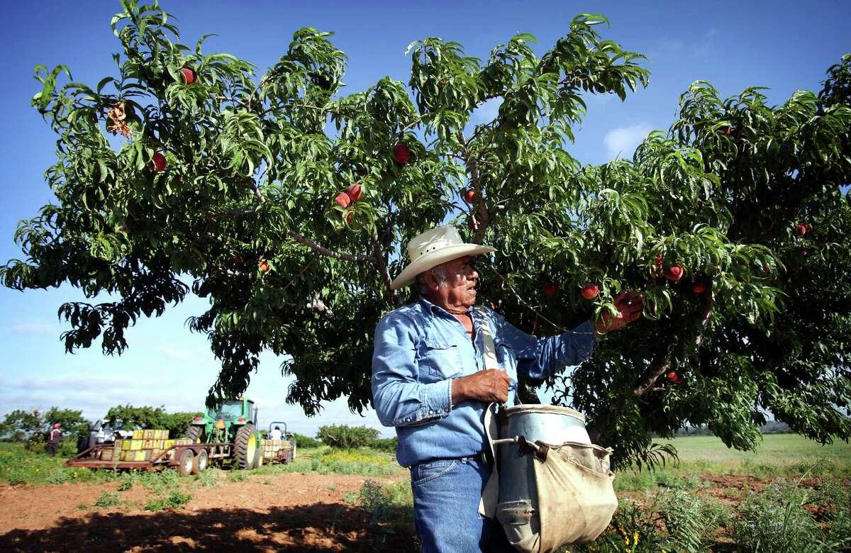 Pedro Vela, orchard forman at Burg's Corner near Stonewall, TX, picks peaches. Tuesday, May 29, 2012.