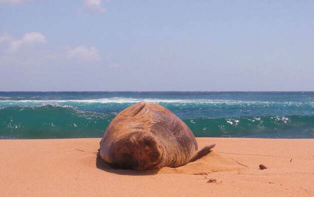 A Hawaiian monk seal snoozes on Poipu Beach on Kauai in June 2004.  (Kevin Fujii/Chronicle)     HOUCHRON CAPTION (07/03/2005) SECTRAVEL COLOR:  THIS Hawaiian monk seal, whose name is derived from the fact that it lives a monklike or solitary existence, snoozes on Kauai's Poipu Beach. Cruises in Hawaii allow visitors plenty of beach time and fun in the sun. Photo: Kevin Fujii / HOUSTON CHRONICLE