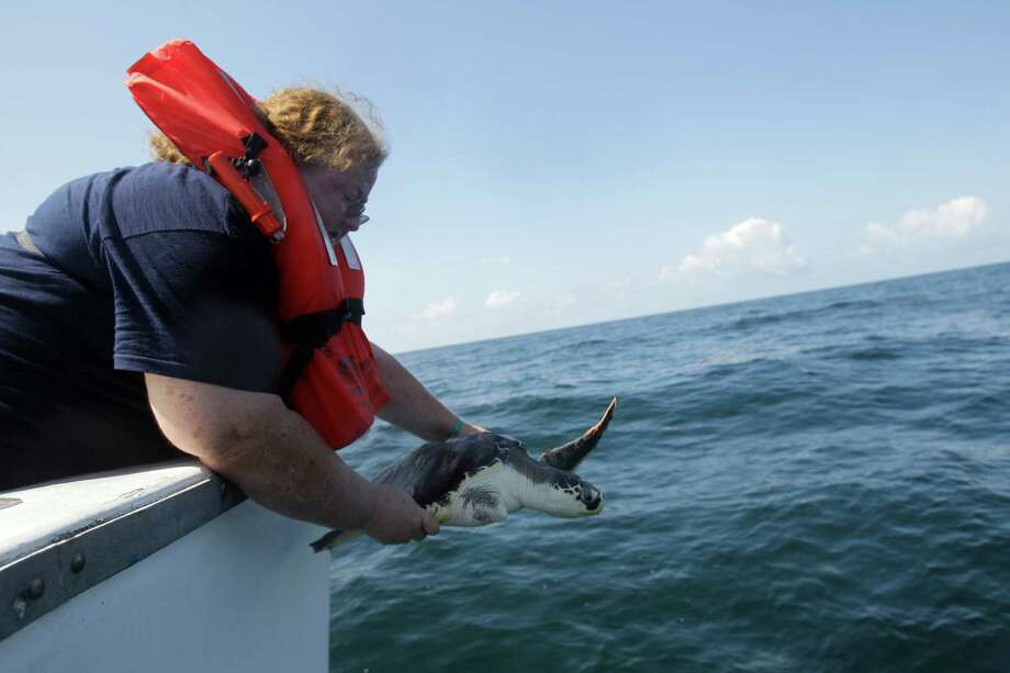 Kimberly Reich, director of the Sea Life Facility, releases Milagro, a rehabilitated Kemp's ridley sea turtle, about 24 miles offshore from Galveston Wednesday, May 30, 2012. Photo: Melissa Phillip, Houston Chronicle / © 2012 Houston Chronicle